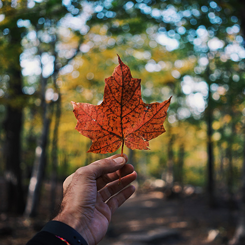 Person holding red maple leaf with green forest in background